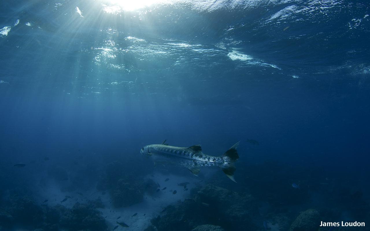 Flyfishing_Farquhar_Great_Baracuda