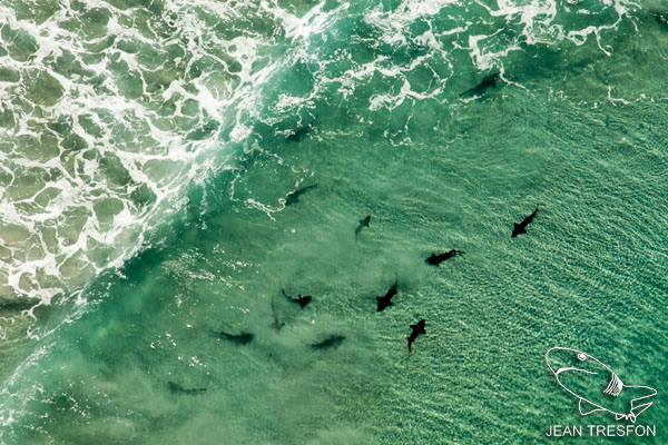 Spotted Gully Sharks off Cape Point