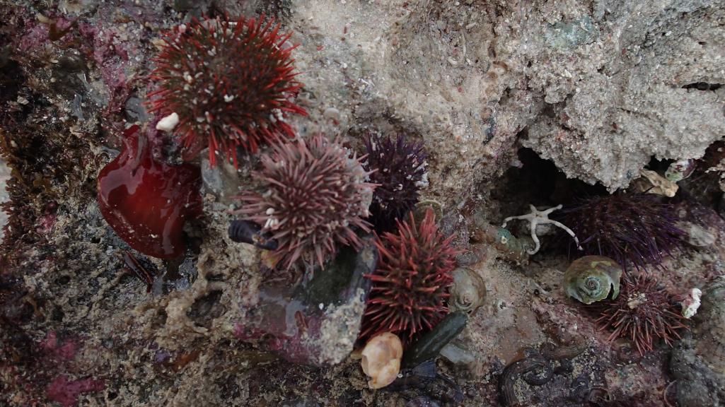 Cape Sea Urchin