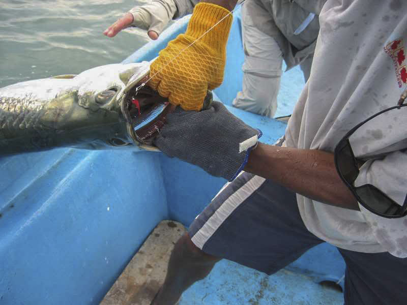 The 150 lb tarpon - unfortunately there are no other photos of the fish!