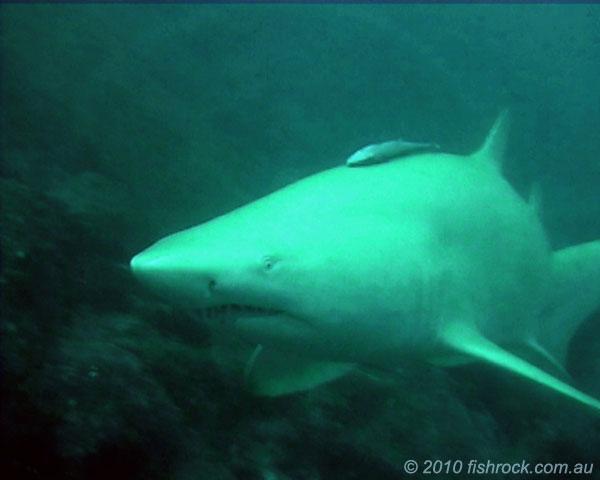 albino-grey-nurse-shark-1