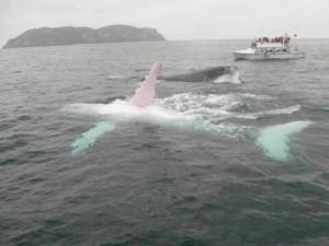 albino-sperm-whale-300x225