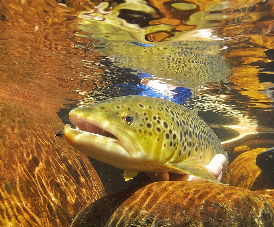 Cracking shot of a brown trout. This also made a cover!