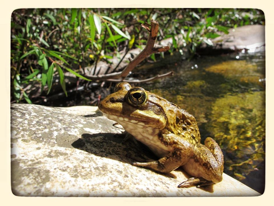 Cape River Frog - the detail is in the eye!