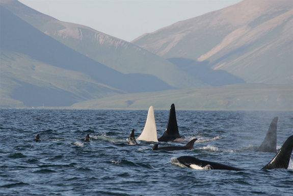 iceberg-killer-whale