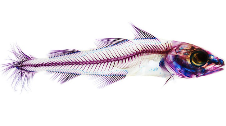 Adam-Summers-Fish-4