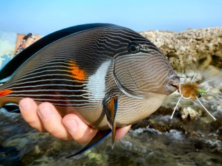 blog-March-31-2014-7-red-sea-surgeonfish