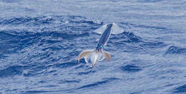 flying-squid-close-up-2