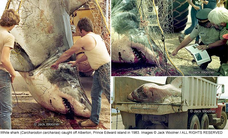 sharks_white3