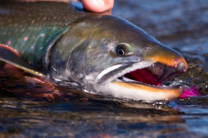Arctic char (Dolly Varden) are aggressive and a pretty by-catch, Naknek River