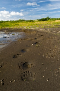 Bear prints on the banks of the Naknek River