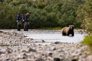 Fly fishermen humoured by a seemingly confused brown bear