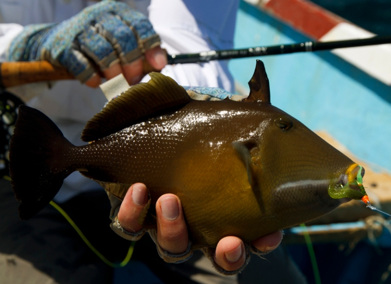 Brown trigger fish small
