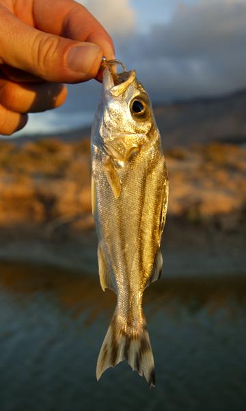 A thornfish caught in a hyper saline lake on Abd Al Kuri