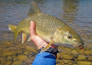 Surprise catch on the Upper Olifants while fishing a strike indicator rig for smallies