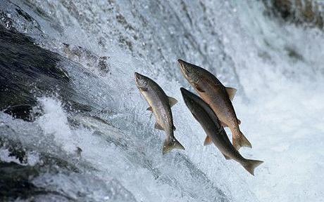 salmon_1395088c